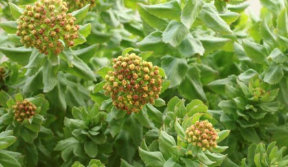 Is Roseroot a Reliable Alternative for Nervous System Ailments?
