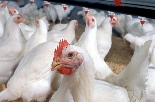 CDC: What to Do if You Suspect Bird Flu