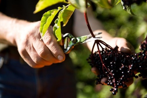 Elderberry May Help Reduce Cold, Flu Duration, Symptoms