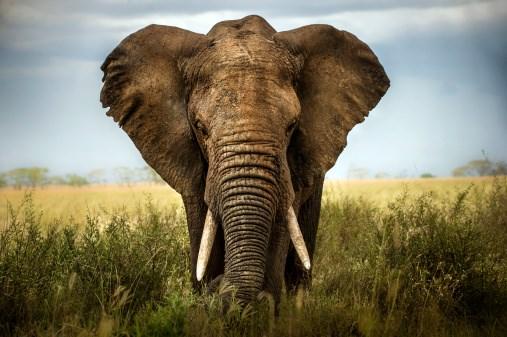 Why Do Elephants Rarely Get Cancer?