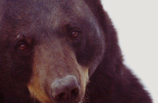 Bear-ly Breathing: What's Causing Respiratory Failure in This Patient?