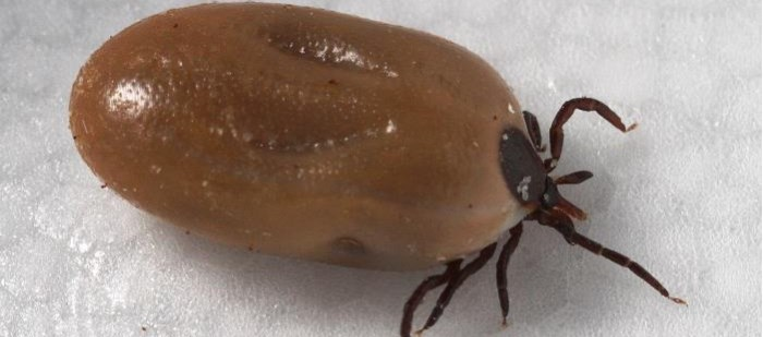 California strains of Lyme bacteria are able to survive antibiotic treatment