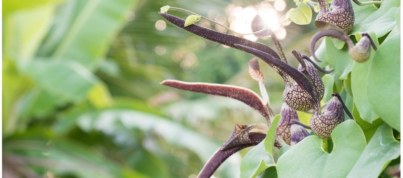 Aristolochia species can cause aristolochic acid nephropathy (AAN)