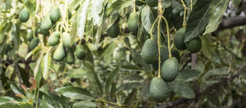 Avocado May Benefit in Metabolic Syndrome