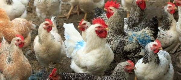 Further Adaptation of Avian Virus May Lead to Pandemic