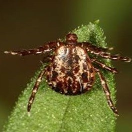 Another Tick-Borne Disease Documented in Northeast
