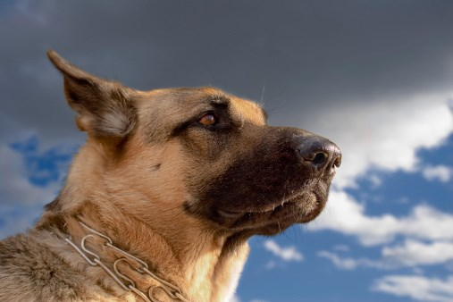 Is Dog Flu a Concern for Humans?