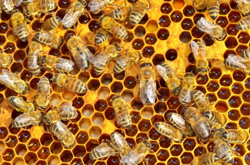 Bee Bacteria a Promising Antibiotic, Even Against MRSA