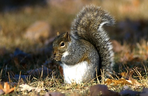 New Squirrel Virus Linked to 3 Deaths in Germany