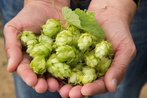 Hops: Good for What 'Ales' You?