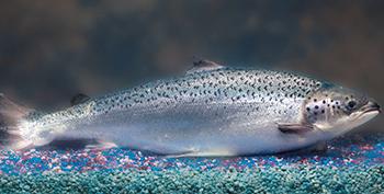 Genetically Modified Salmon Safe to Eat, Says FDA