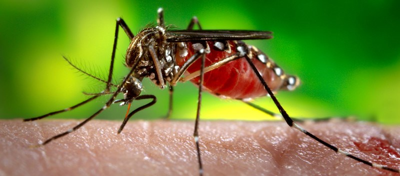 Some California Mosquitoes Can Carry Zika Virus