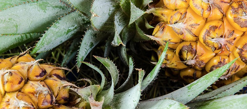 Found in pineapple, bromelain is a well known proteolytic enzyme