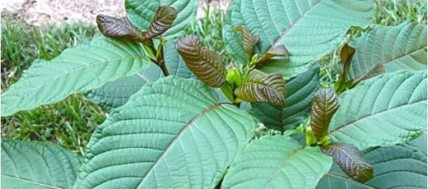 Kratom (mitragyna speciosa) is an herbal product found in southeast Asia