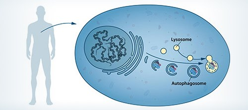 The concept of autophagy emerged around the 1960s