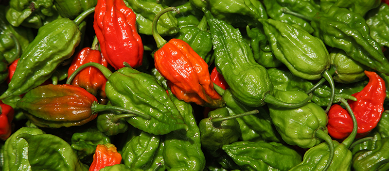 Ghost peppers are considered the hottest chili peppers in the world