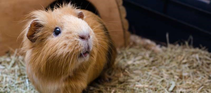 Three cases of community-acquired pneumonia reported after exposure to ill guinea pigs