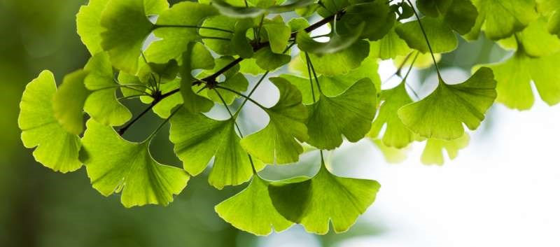 Ginkgo Biloba Plus Aspirin May Alleviate Cognitive Deficits After Stroke