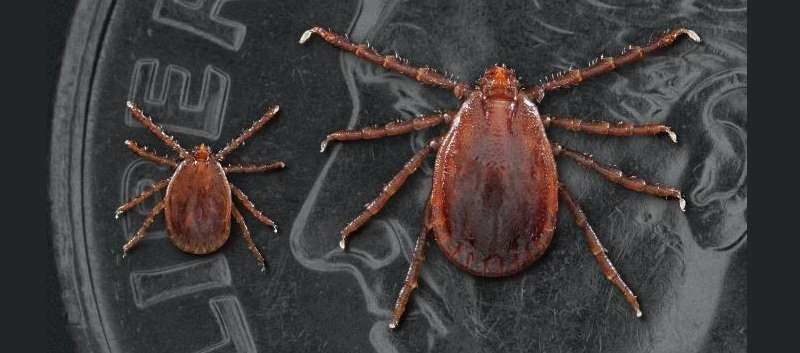 Asian longhorned tick currently considered a greater threat to livestock than to humans. Left: a nymph; Right; adult female (Image credit: CDC)