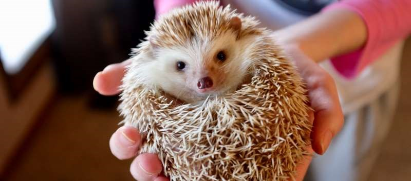 CDC: Salmonella Outbreak Linked to Pet Hedgehogs